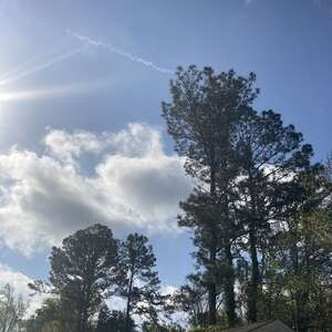 Loblolly pines against blue sky with puffy cloud