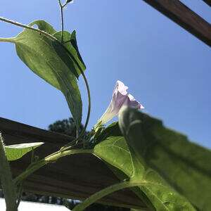 a morning glory vine wrapped around a sunflower stem with one pink bloom